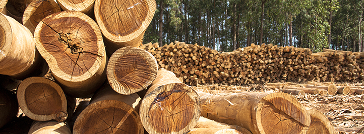 Freshly cut timber in a pine forrest